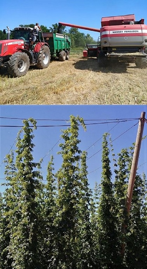 Grain harvest is continung, hop cones are forming!