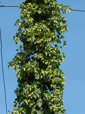 Registration tests of new hop variety