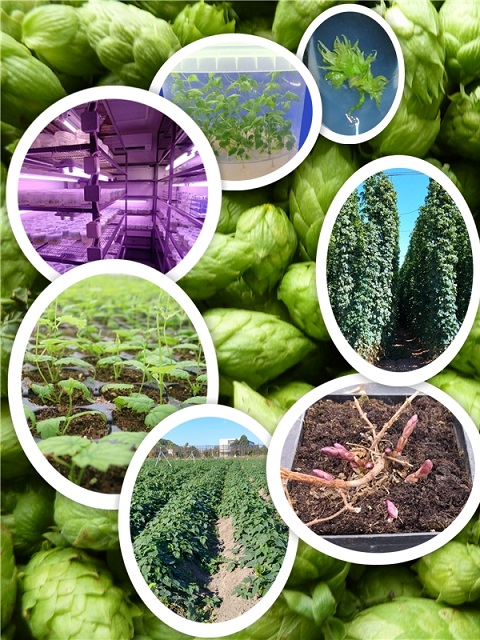 Production of virus-free hop rootstocks